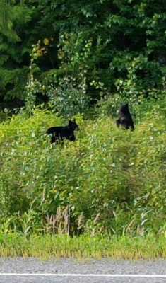 Bear cubs foraging and frolicking along Yellowhead Highway